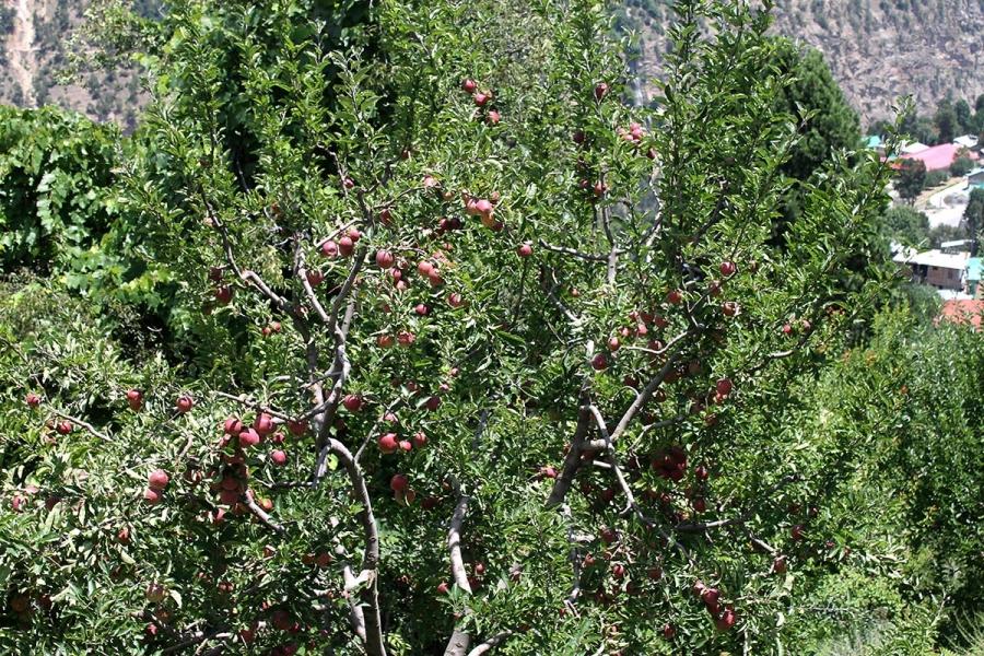 Apple Farming Kalpa